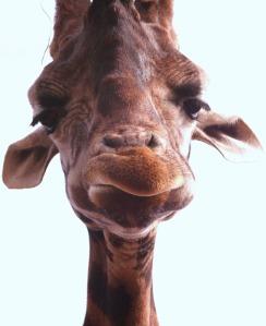 giraffe-600548_640