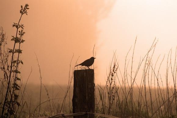 blackbird-542460_640